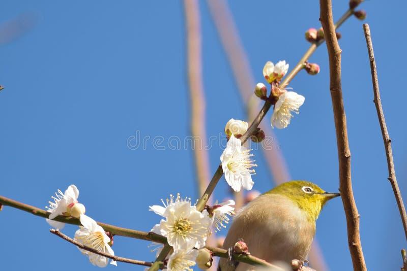 Japansk vit ögonfågel på blommande vitt plommonblomningträd arkivbild