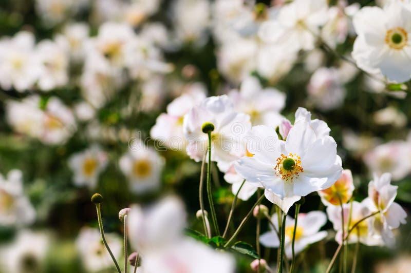 Japanska anemoner - vita blommor för höst fotografering för bildbyråer