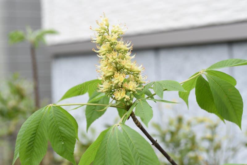 Japanska blommor f?r h?stkastanj royaltyfri fotografi
