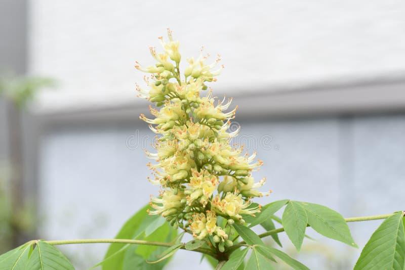 Japanska blommor f?r h?stkastanj arkivfoton