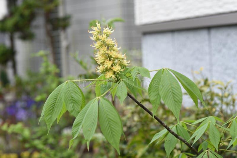 Japanska blommor f?r h?stkastanj royaltyfria foton