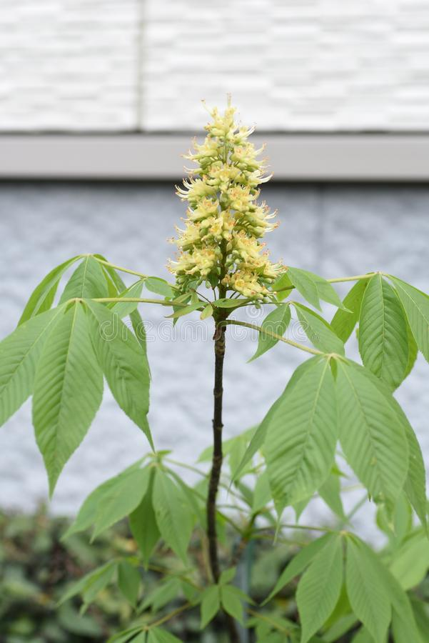 Japanska blommor f?r h?stkastanj royaltyfria bilder