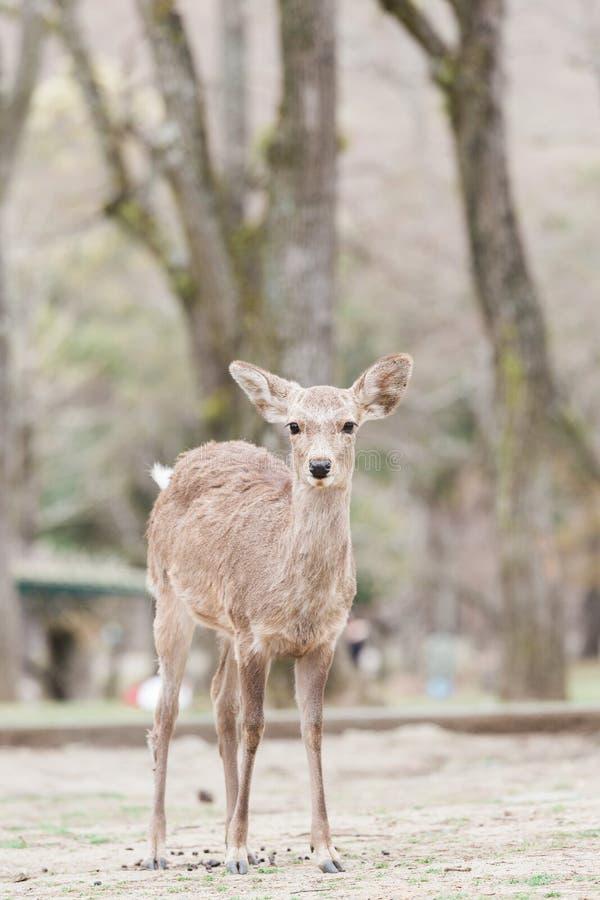 Japanska hjortar i Nara royaltyfri foto