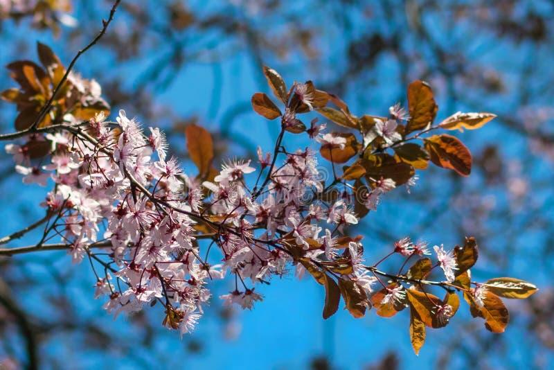 Japanska körsbärsröda blomningar mot ett ljust - blå bokehbakgrund royaltyfria bilder