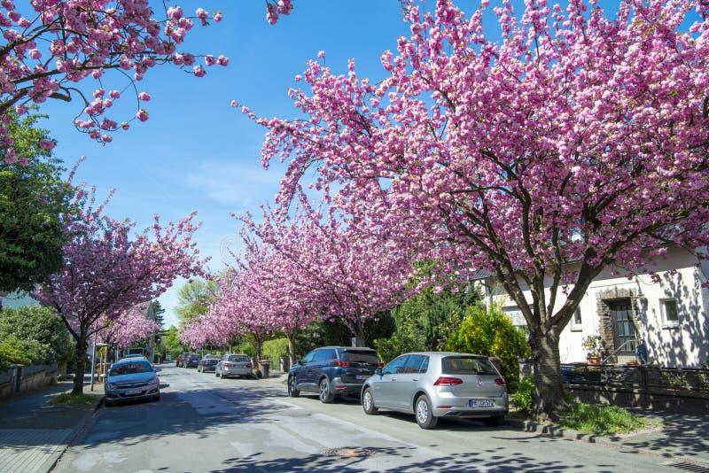 Japanska körsbärsröda träd som blommar i liten gata i vår royaltyfri bild
