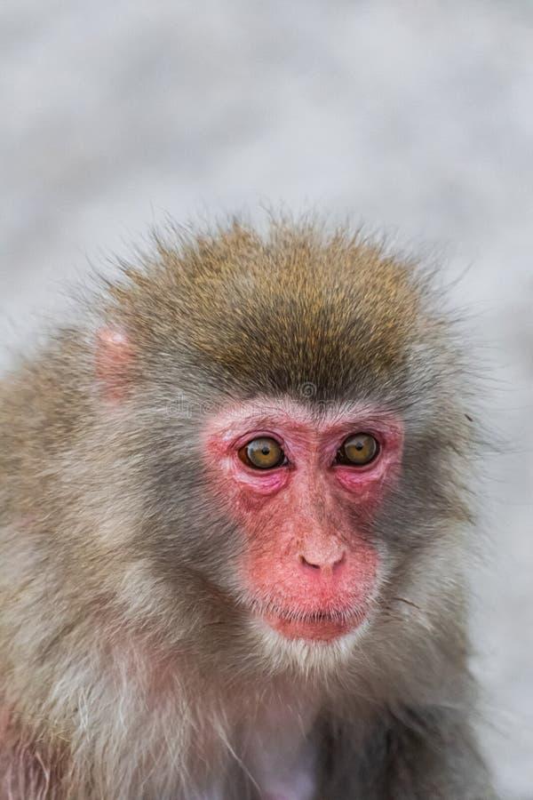 Japanska Macaque, Macaca Fuscata arkivbild
