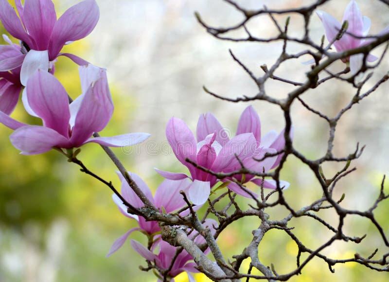 Japanska magnoliaträdblomningar är i blom med intressanta filialdetaljer arkivfoton