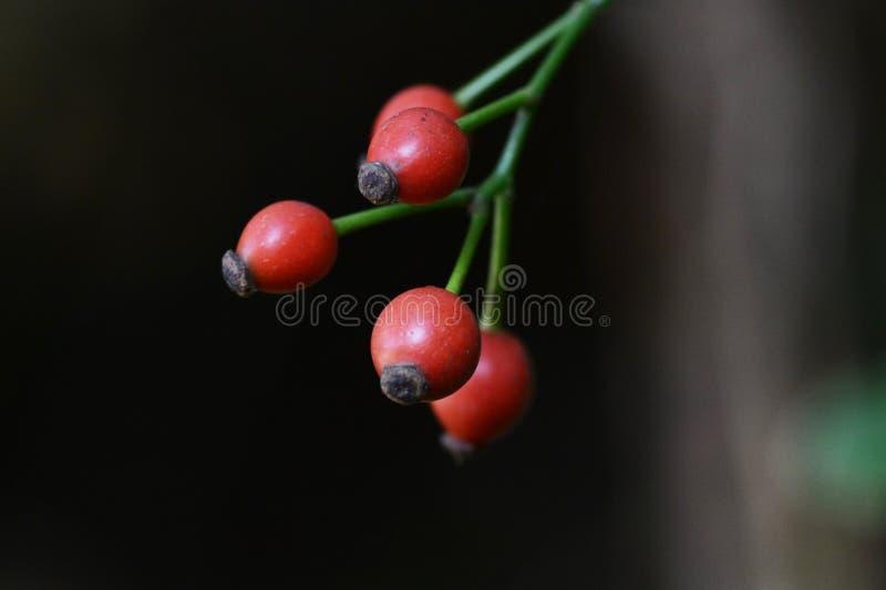 Japanska rosa frukter arkivbild