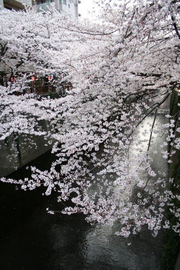 Japanska Sakura körsbärblomningar & lyktor royaltyfri foto