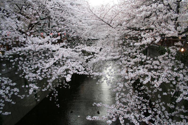 Japanska Sakura Körsbärblomningar & Lyktor Arkivbild