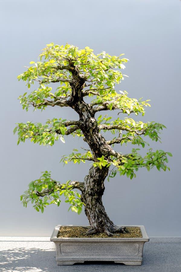 Japanskt bonsaiträd Cedar Elm arkivbild