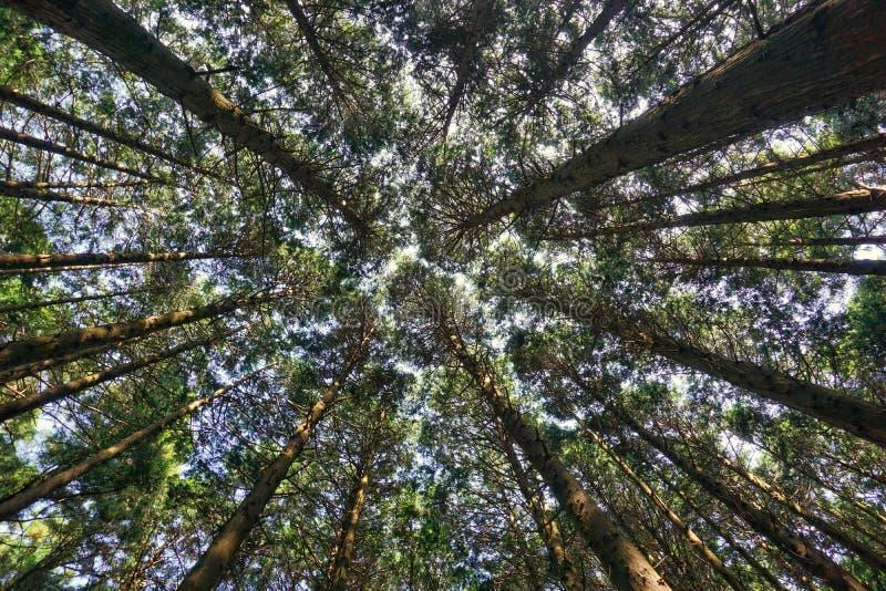 Japanskt cederträ monteringen Hiei Trailpath arkivbild