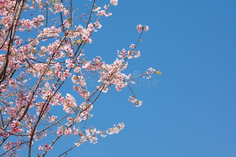 Japanskt Cherry arkivfoton