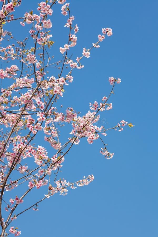 Japanskt Cherry arkivbild