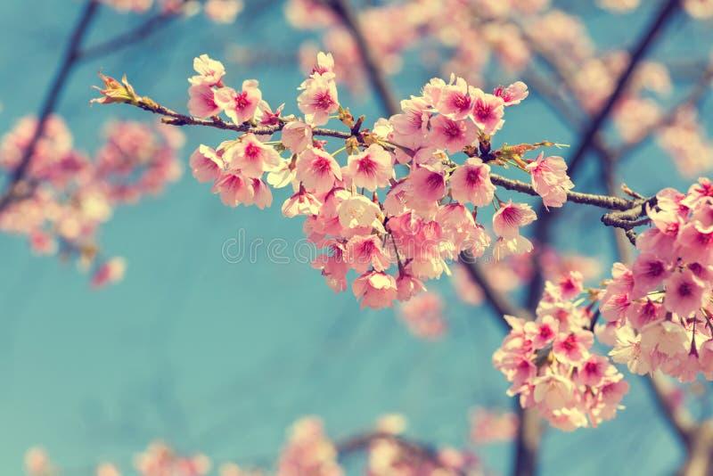Japanskt Cherry arkivbilder