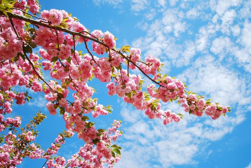 Japanskt körsbär arkivbilder