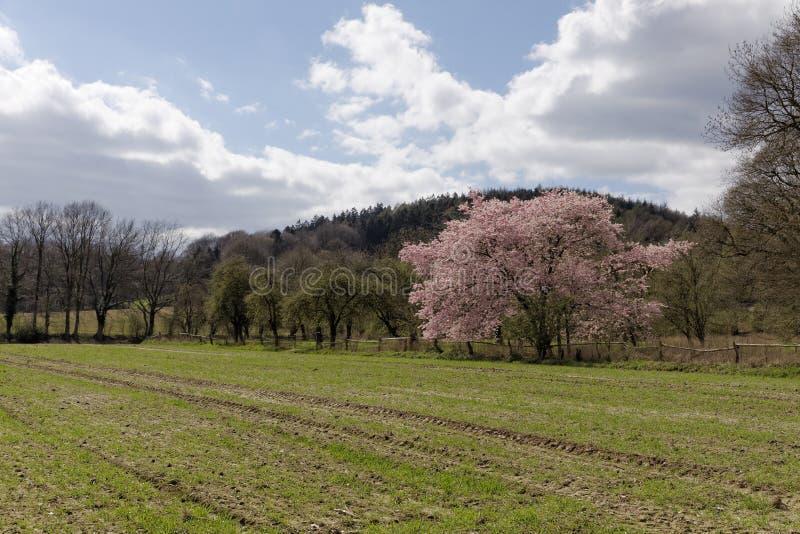 Japanskt körsbärsrött träd i vår, med den Teutoburg skogen i bakgrunden, lägre Sachsen, Tyskland royaltyfri fotografi