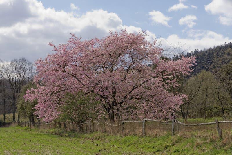 Japanskt körsbärsrött träd i vår, med den Teutoburg skogen i bakgrunden, lägre Sachsen, Tyskland royaltyfria bilder