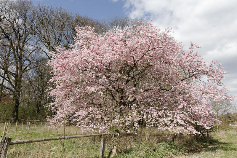 Japanskt körsbärsrött träd i våren, lägre Sachsen, Tyskland arkivbilder