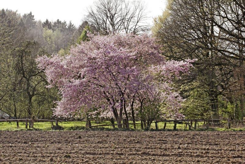 Japanskt körsbärsrött träd i våren, Tyskland royaltyfri fotografi