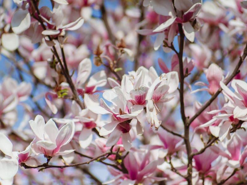 Japanskt magnoliatr?d - den h?rliga closeupen f?r rosa och vita blommor sk?t arkivbilder