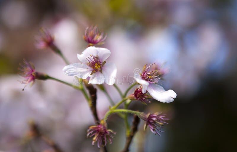 Japanskt träd för körsbärsröd blomning i trädgård fotografering för bildbyråer