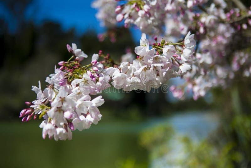 Japanskt träd för körsbärsröd blomning i trädgård royaltyfri foto