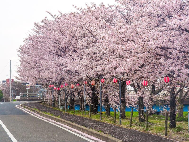 Japońska ulica wykładająca z Czereśniowymi okwitnięciami zdjęcia stock
