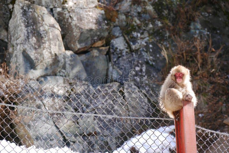 Japończyka małpi obsiadanie na słupie zdjęcia royalty free