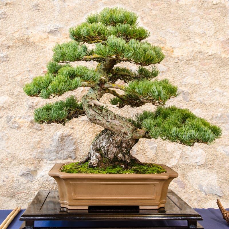Japończyka pięć igielna sosna jako bonsai drzewo (Pinus parvifolia) zdjęcia stock