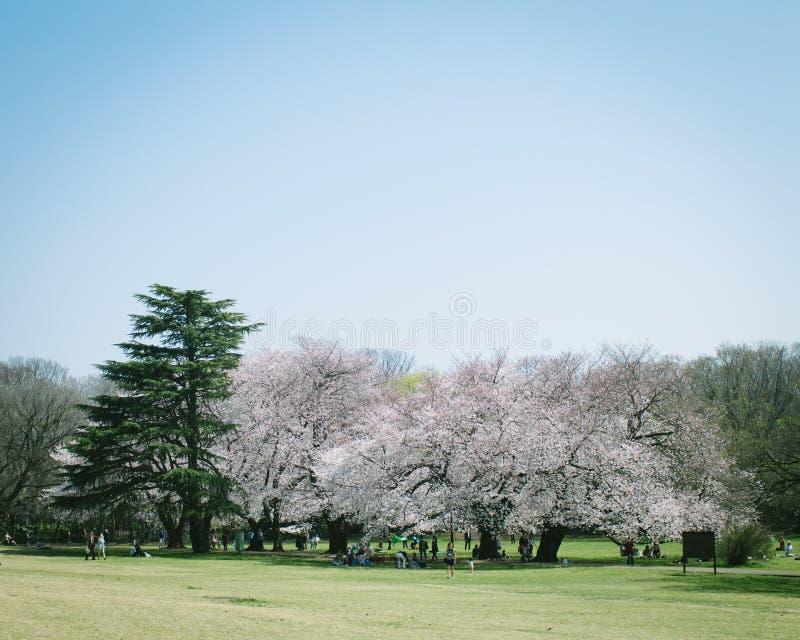Japończyka Sakura czereśniowi okwitnięcia w pełnym kwiacie w parku, Tokio zdjęcia royalty free