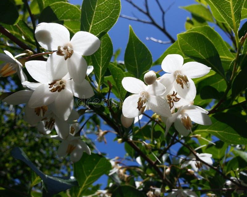 Japończyka Snowbell drzewo zdjęcia royalty free