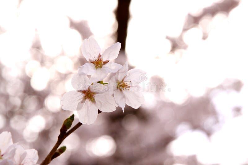 Japońscy Czereśniowi okwitnięcia zdjęcia royalty free