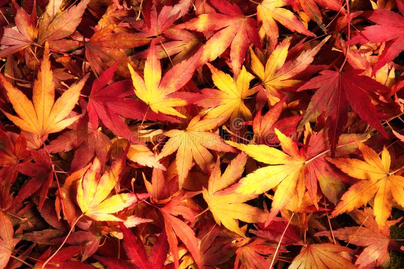 Japońscy liście klonowi w marzycielskim grżą kolory zdjęcia royalty free