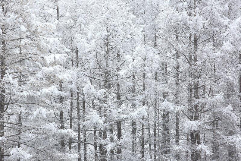 Japońscy modrzewie zakrywający z śniegiem obraz royalty free
