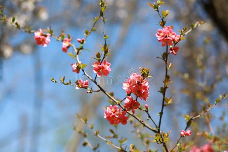 Japońscy wiśnia kwiaty zdjęcia stock