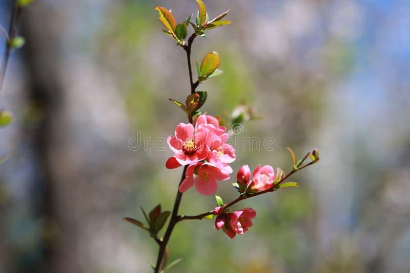 Japońscy wiśnia kwiaty obraz stock