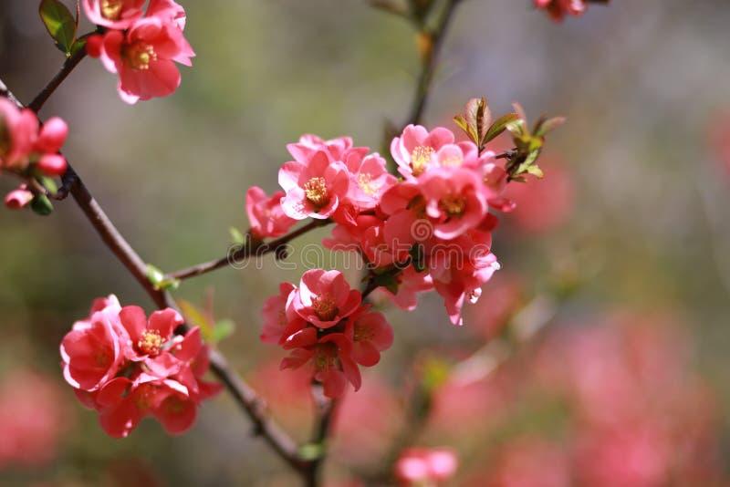 Japońscy wiśnia kwiaty zdjęcie royalty free