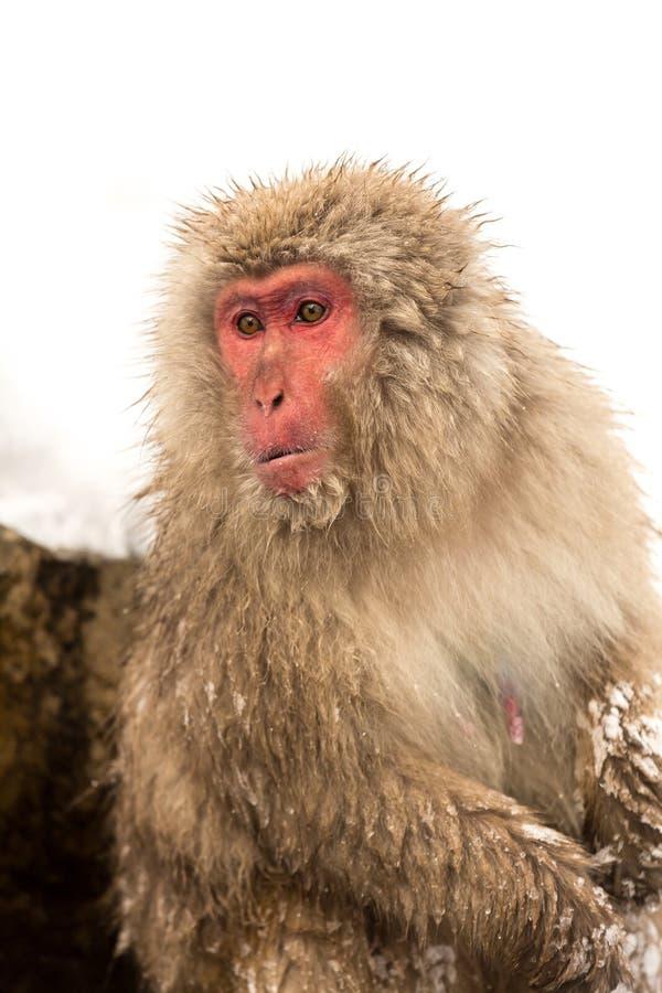 Japońska śnieg małpa zdjęcia royalty free
