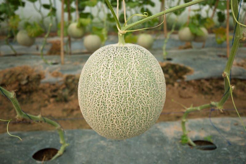Japońska melonowa uprawa zdjęcie stock