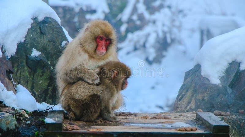 Japoński śnieg małpy makak w gorącej wiosny Onsen Jigokudan parku, Nakano, Japonia obrazy stock