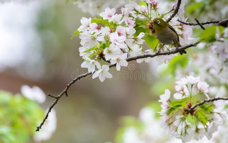 Japoński biały oko (Zosterops japonicus) obrazy stock