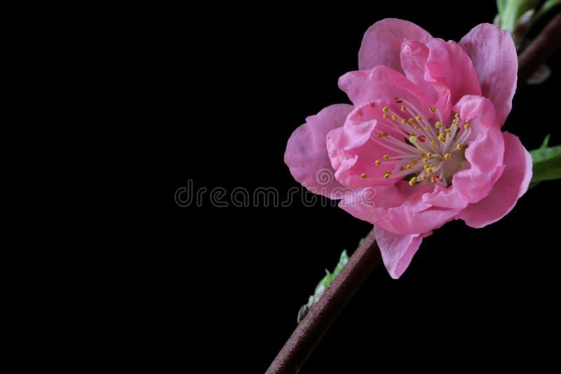 Japoński brzoskwini okwitnięcie na czerni fotografia royalty free