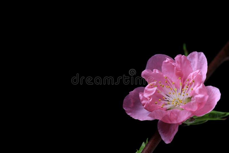 Japoński brzoskwini okwitnięcie na czerni zdjęcie royalty free