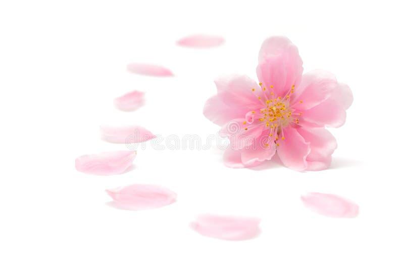 Japoński brzoskwinia kwiat odizolowywający na białym tle fotografia stock