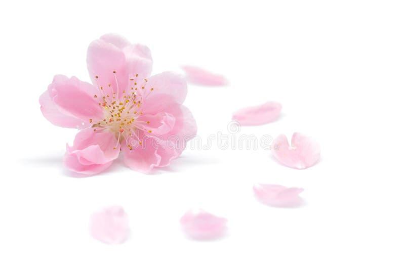 Japoński brzoskwinia kwiat, płatki na białym tle i zdjęcie royalty free