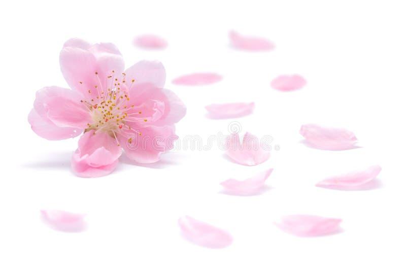 Japoński brzoskwinia kwiat, płatki na białym tle i obraz stock