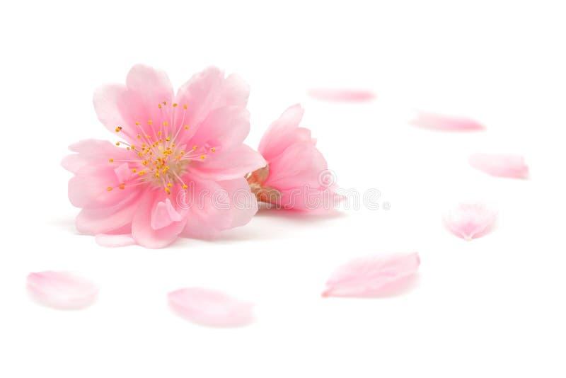 Japoński brzoskwinia kwiat, płatki na białym tle i zdjęcia stock