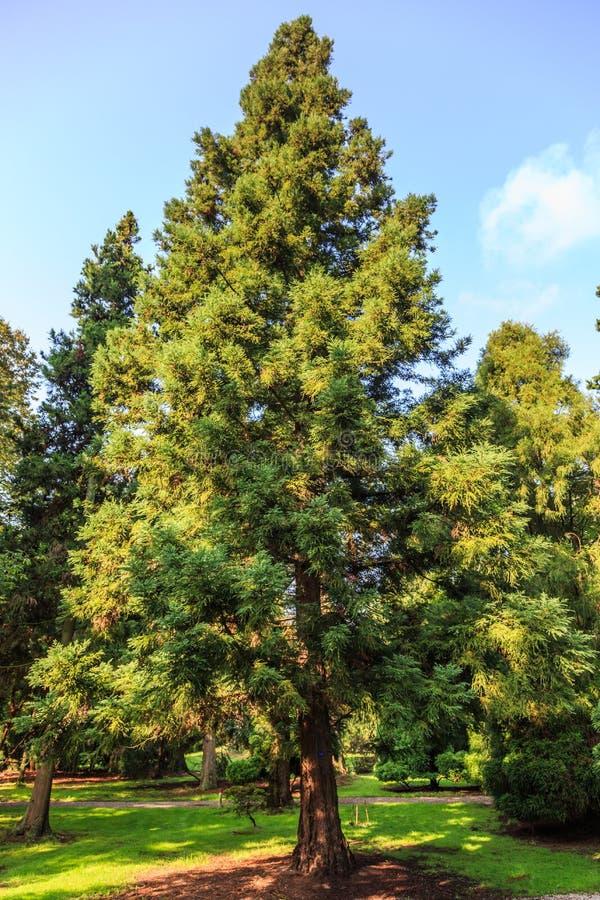 Japoński cedr, Cryptomeria japonica lobbii w Holenderskim arboretum obrazy royalty free