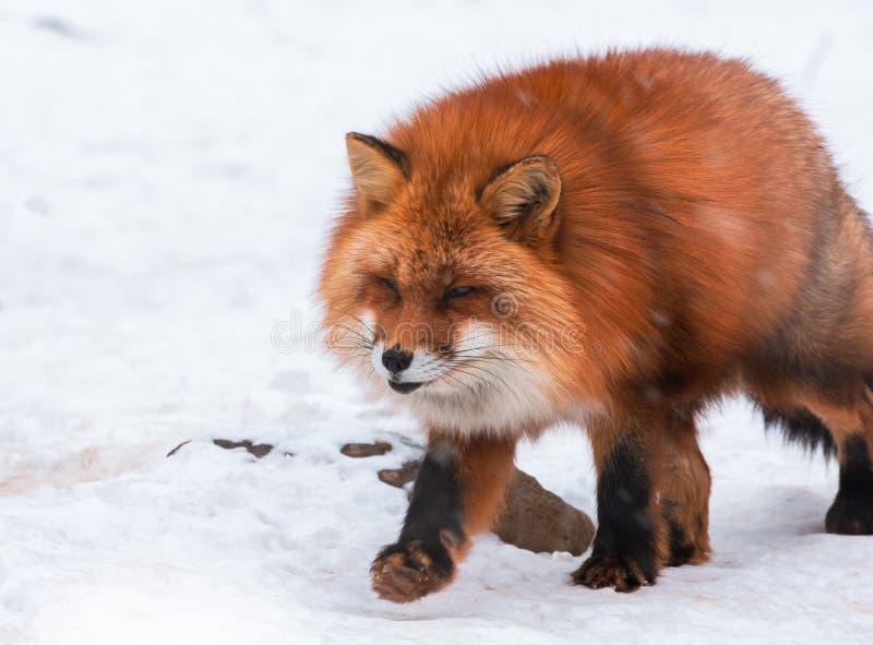 Japoński Czerwony lis w śnieżnej zimie, Miyagi, Sendai, Japonia fotografia royalty free